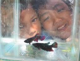 APA istimewanya ikan cupang (Betta splendens)? Ukurannya kecil, penyendiri, dan gemar berantem. Nah, justru itu menariknya, di samping warnanya yang tajam ... - 033340p