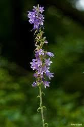 Parco di Montevecchia : Ambiente : Flora : Campanula bolognese