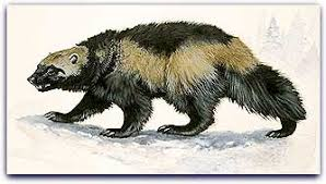 Image result for are there wolverines in wisconsin