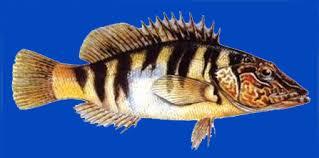 hani balığı ile ilgili görsel sonucu