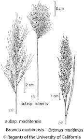 Bromus madritensis subsp. rubens