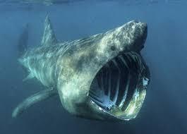 Resultado de imagen de tiburon peregrino