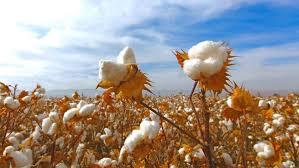 What is Pima <b>Cotton</b>? - Authenticity50