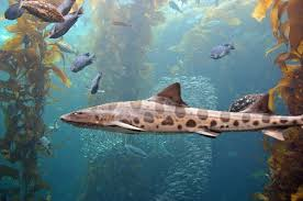 Image result for leopard shark image