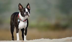 <b>Бостон</b>-<b>терьер</b>: все о собаке, фото, описание породы, характер ...