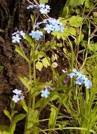 Myosotis sylvatica (pomněnka lesní) | BioLib.cz
