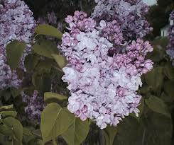 Syringa vulgaris, Common Lilac - Plant Database - University of ...