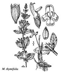 Cla. Dicotiledoni - florae.it