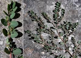 Euphorbia chamaesyce L. - Guida alla flora degli stagni temporanei ...