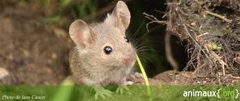 """Résultat de recherche d'images pour """"souris domestique"""""""