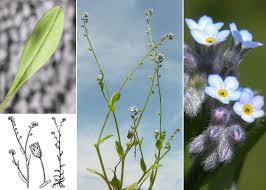 Myosotis arvensis (L.) Hill subsp. arvensis - Sistema informativo ...