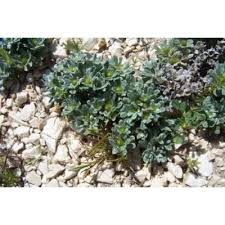 Genere Evax - Flora Italiana