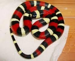 Vouloir un serpent venimeux ou pas  Images?q=tbn:ANd9GcTj_N8CiZ59sJbKoaB350RASmHXnImc5Otp8ykVyNZP6xpZfL2HWg