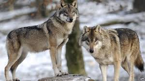 """""""Εισελεύσονται λύκοι βαρείς""""..."""