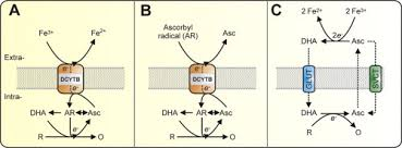 The active role of <b>vitamin C</b> in mammalian <b>iron</b> metabolism: Much ...
