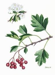Crataegus monogyna - Wikipedia