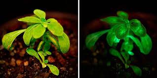 Bioluminiscencia en hongos