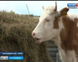 Почти тремя десятками коров приросло стадо Николая <b>Ларика</b> ...