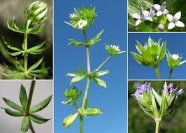 Sherardia arvensis L. - Esploriamo la flora: un progetto per le scuole
