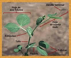 Resultado de imagen para crecimiento plantas de arveja