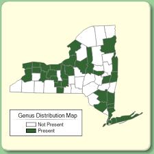 Buglossoides - Genus Page - NYFA: New York Flora Atlas - NYFA ...