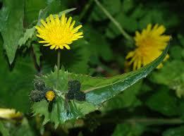 Sonchus oleraceus - Wikipedia