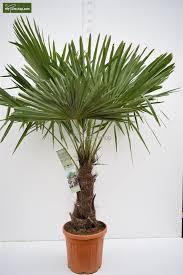 Trachycarpus fortunei (Chusan Palm, Windmill ... - MyPalmShop.com