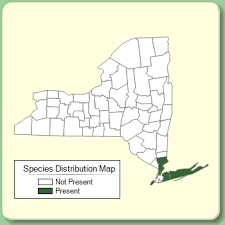 Paspalum laeve - Species Page - NYFA: New York Flora Atlas