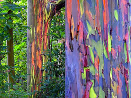 Image result for multi colored eucalyptus
