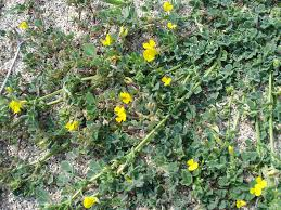 Medicago littoralis - Wikipedia