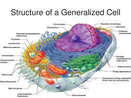generalised animal cell diagram photo album   diagramscollection detailed animal cell diagram labeled pictures diagrams