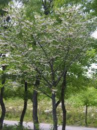 Styrax japonicus - Styrax japonicus - qwe.wiki
