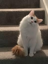 Turkish <b>Van Cat</b> - #cat #catbreeds #<b>vancat</b> #turkishvancat | Turkish ...