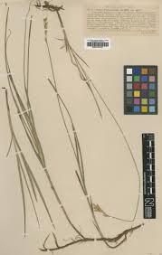 Carex repens Bellardi — Google Arts & Culture