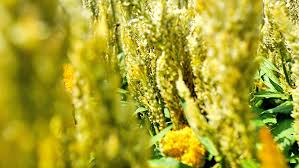 Image result for pictures of goldenrods