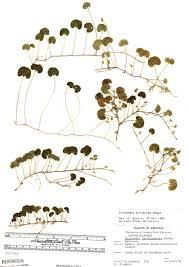SEINet Portal Network - Dichondra micrantha