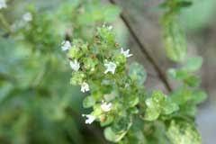 Origanum majorana Sweet Marjoram PFAF Plant Database