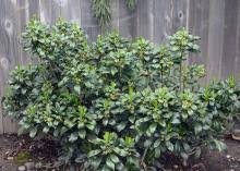 Daphne laureola | Landscape Plants | Oregon State University