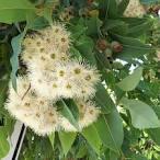 eucalyptus calophylla