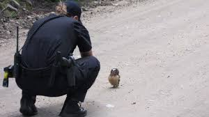 viral video shows baby owl facing off colorado sheriff s a boulder county sheriff s deputy encountered a baby owl on 23 2015 this