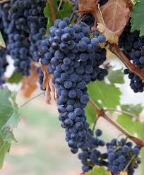 grapes க்கான பட முடிவு