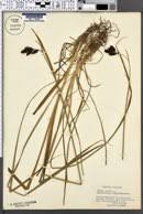 SEINet Portal Network - Carex atrata subsp. aterrima