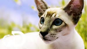 <b>Siamese Cats</b>: The Oldest Domestic Feline | Cats 101 - YouTube