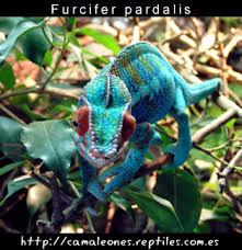 Resultado de imagen para imagenes de camaleón pantera