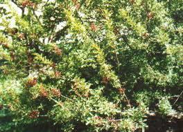 Pistachio nut trees