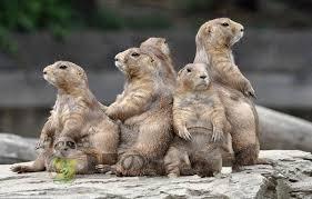<b>Groundhog</b> doll <b>groundhog</b> plush toy marmot doll plush toy <b>cute</b>