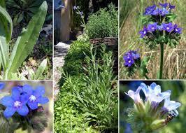 Anchusa officinalis L. - Sistema informativo sulla flora vascolare dei ...