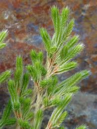 Selaginella bigelovii Calflora
