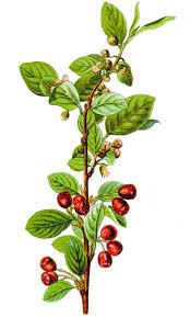 Cotoneaster integerrimus - Wikipedia