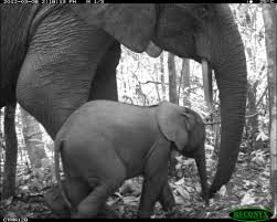 animal selfies show how protecting wildlife habitats is paying african bush elephants loxodonta africana in nouabale ndoki national park republic of congo